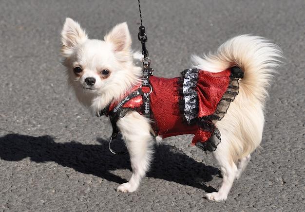 Sexo feminino do cão chihuahua engraçado de pêlo comprido vestida com um vestido vermelho.