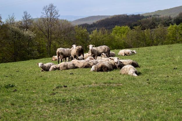 Sheeps em um prado na grama verde