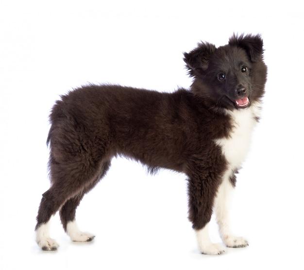 Shetland sheepdog está de pé