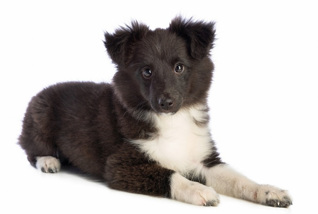 Shetland sheepdog está mentindo e olhando para o futuro
