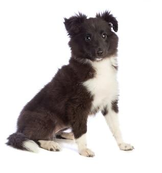 Shetland sheepdog está sentado e olhando para o futuro