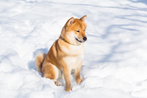 Shiba inu cachorro vermelho está brincando e correndo no inverno