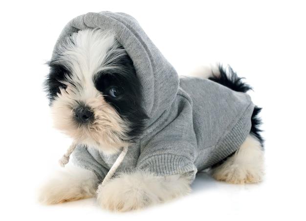 Shitzu de cachorro vestido