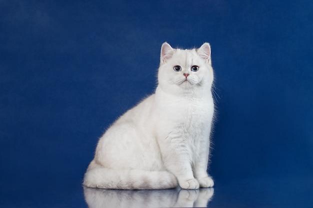 Shorthair britânico branco jovem gato com olhos azuis mágicos, gatinho de grã-bretanha sentado