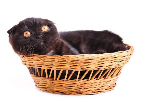 Shorthair britânico de gato preto com olhos amarelos na cesta em um branco