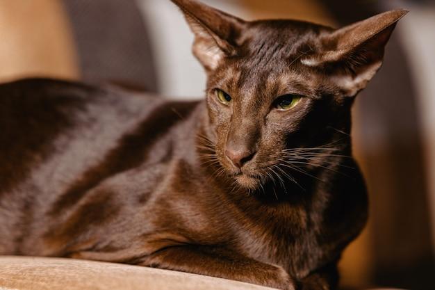 Shorthair oriental havana cat com a cor da pelagem chocolate.