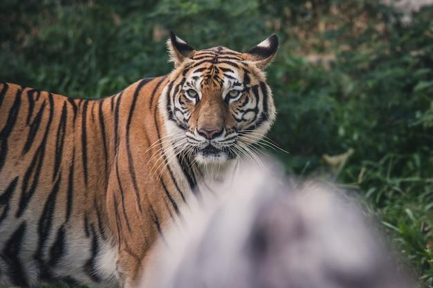 Show de tigre no zoológico