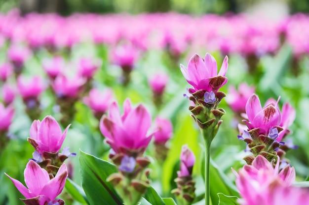 Siam tulips de florescência cor-de-rosa em tailândia.