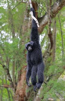 Siamang, gibão peludo preto na árvore