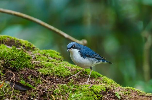 Siberian, azul, robin, (luscinia, cyane), a, bonito, azul, pássaro, ficar, ligado, a, mossy, registro