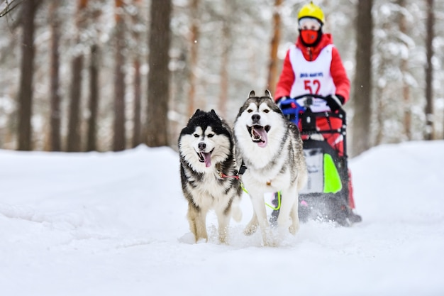 Sierian husky trenó corrida de cães