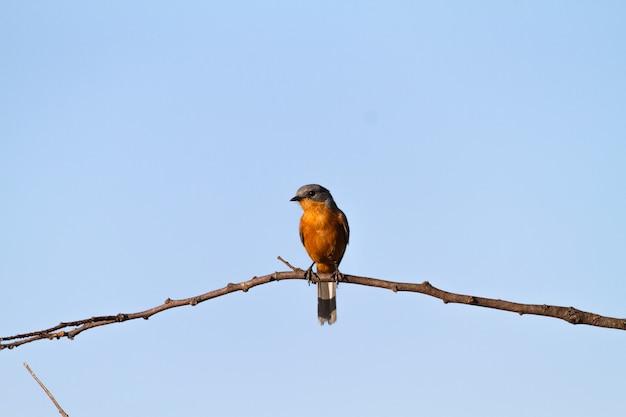 Silberbird no galho. tanzânia, serengeti