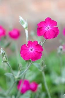 Silene coronaria (rosa campion) flores closeup