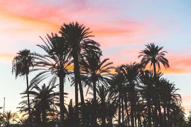 Silhueta de árvores de palma ao pôr do sol em maiorca