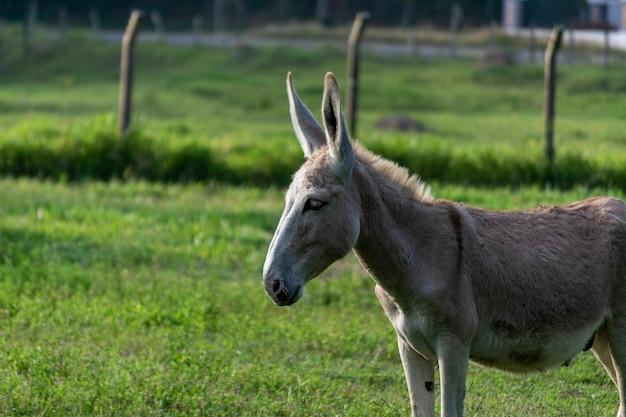 Silhueta de burro em pastagem de fazenda