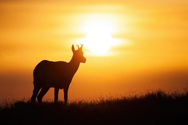 Silhueta de camurça tatra em pé no horizonte ao pôr do sol.