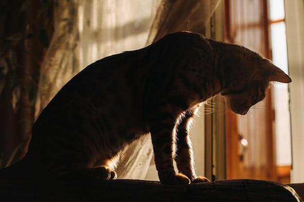 Silhueta de gato na janela à tarde, verão, gatinho