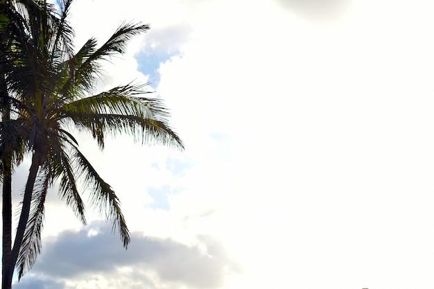 Silhueta de uma palmeira sobre um fundo claro