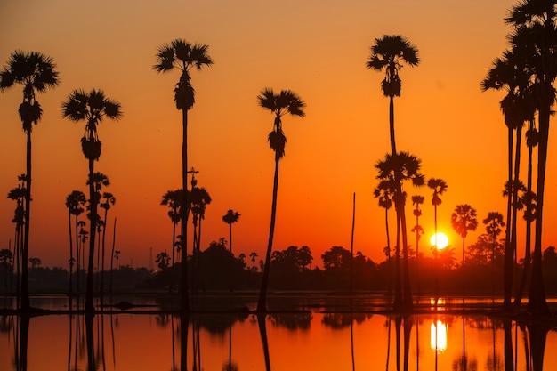 Silhueta sugar palm tree no campo de arroz antes do nascer do sol
