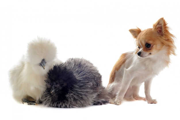 Silkies jovens e chihuahua