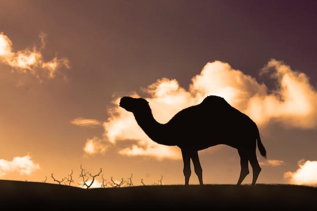 Silueta, de, camelo ambulante, ligado, a, dunas areia