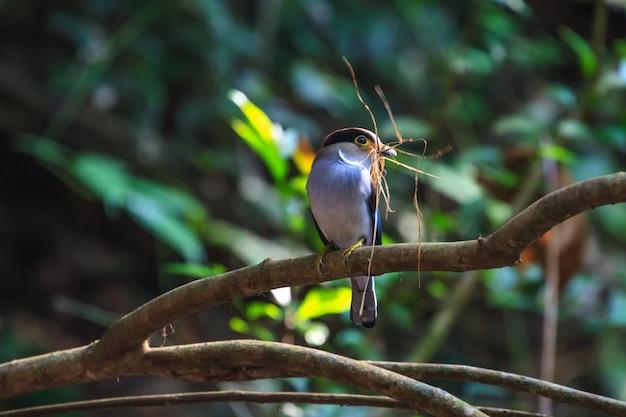 Silver-breasted broadbill belo pássaro em um galho