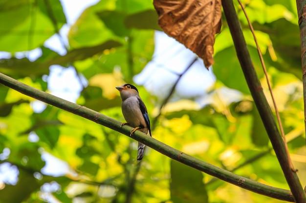 Silver-breasted broadbill (serilophus lunatus) belo pássaro em um galho