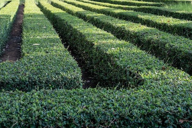 Simetria geométrica anão árvore caixa labirinto jardim padrão de cerca viva e sulco de caminho