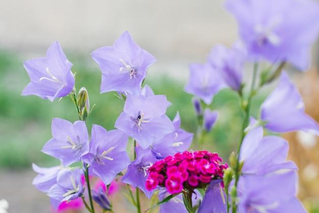 Sinos lilás e cravo turco cor-de-rosa no jardim no verão. foco seletivo