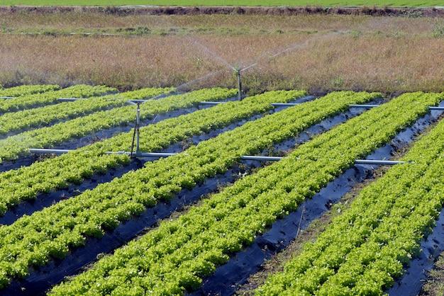 Sistema de irrigação em ação no plantio de hortaliças