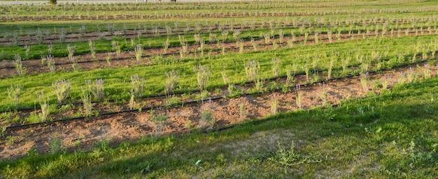 Sistema de irrigação em um campo de lavanda, rega de plantas jovens de lavanda, banner, crimeia, rússia.