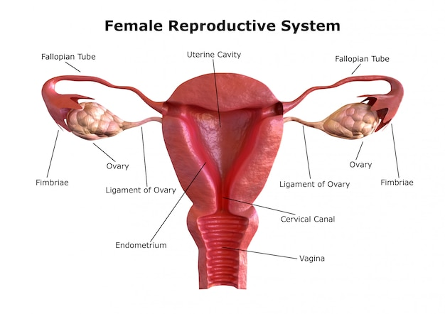 Sistema reprodutivo feminino