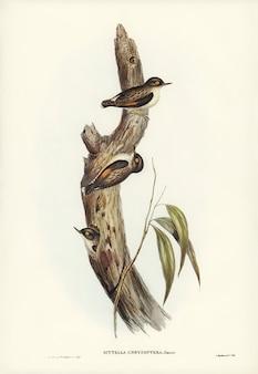 Sittella-de-asa-laranja (sittella chrysoptera) ilustrada por elizabeth gould