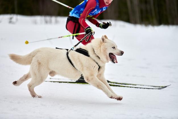 Skijoring cão correndo com pessoa