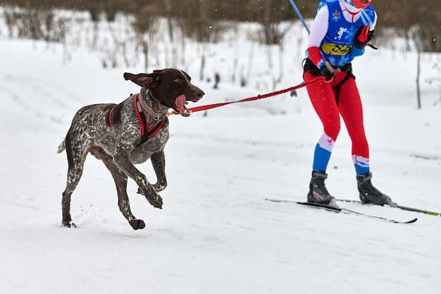 Skijoring dog racing. competição de esporte de cachorro de inverno. cão ponteiro puxando esquiador