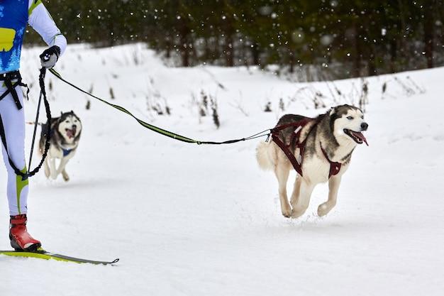Skijoring dog racing. competição de esportes caninos de inverno