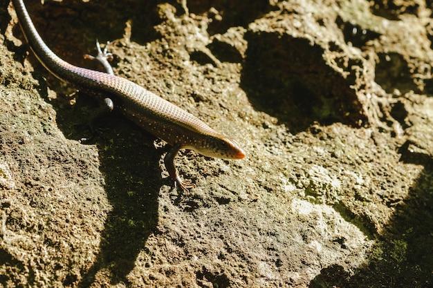 Skink no chão é um réptil pode ser encontrado em geral e na floresta