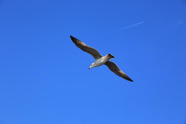 Skye azul gaivota.