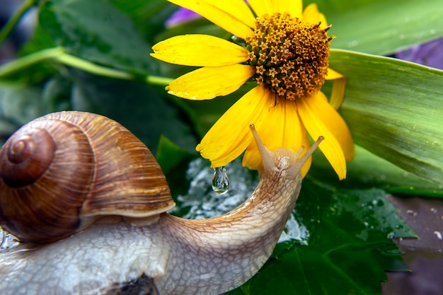 Snail está ativamente rastejando na natureza. molusco e invertebrado. delicadeza de carne e comida gourmet.