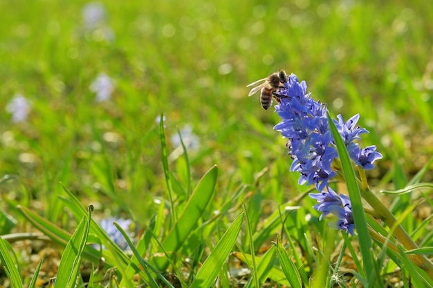Snowdrop azul e abelha coletando pólen no prado início da primavera