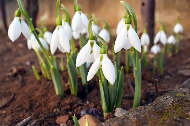 Snowdrop flores da primavera. snowdrop snowdrop floresta