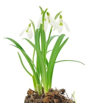 Snowdrops (galanthus nivalis) em fundo branco