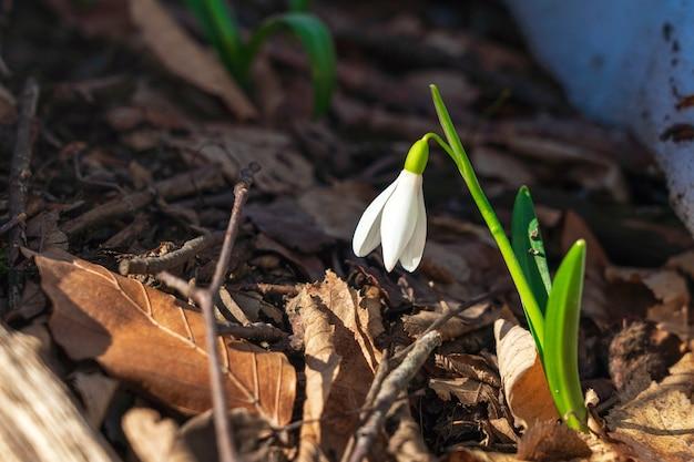 Snowdrops na floresta da primavera