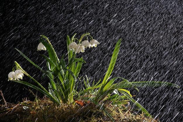 Snowdrops na noite chuvosa