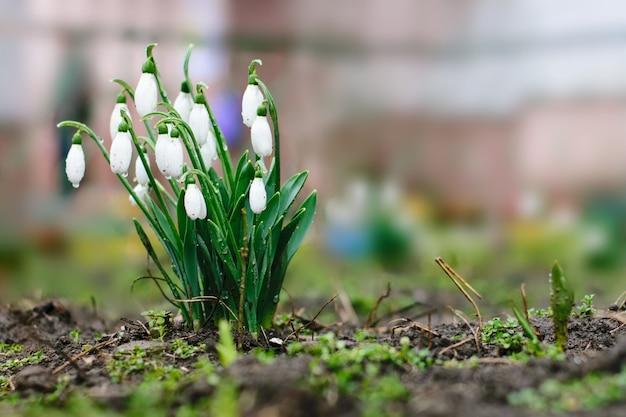 Snowdrops no jardim primavera, as primeiras plantas tenras