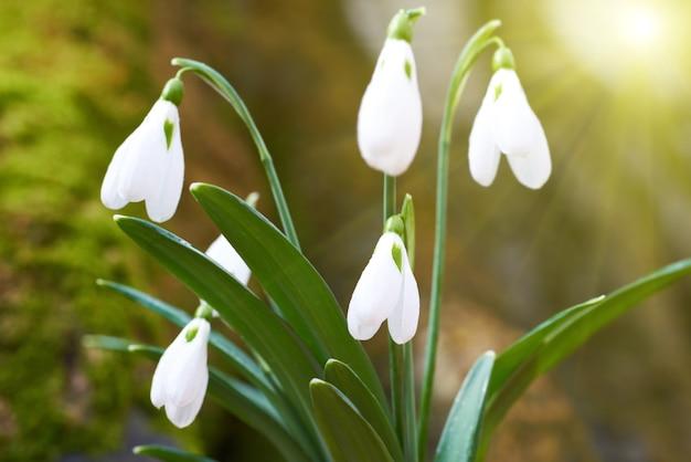 Snowdrops primeiras flores da primavera na floresta