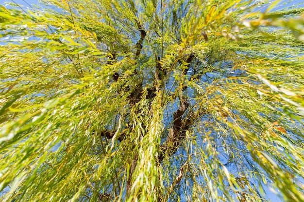 Sob a árvore do salgueiro-chorão
