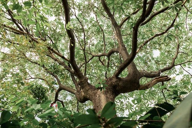 Sob a grande árvore e olhando para cima