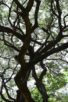 Sob a sombra de árvores altas na tailândia tropical, folhagem de árvore de vidoeiro na manhã com sol