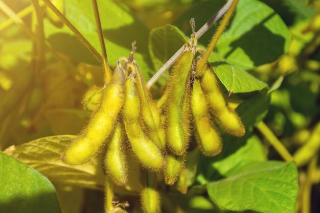 Soja verde cheia de feijões na fase de formação da colheita